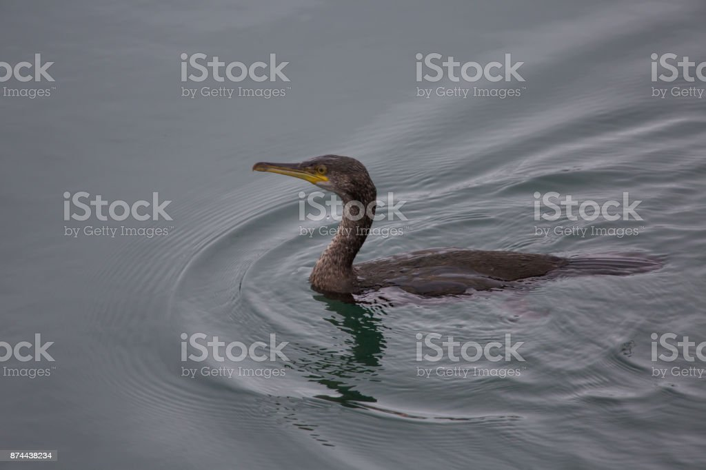 Juvenile shag in calm waters stock photo
