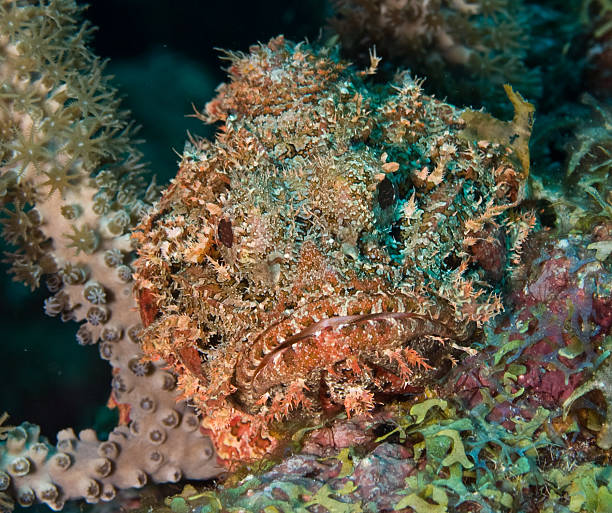 Juvenile Spotted Scorpionfish stock photo