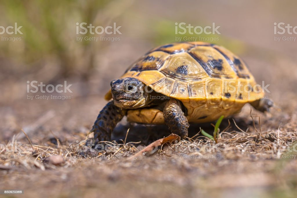 Juvenile Spur-thighed tortoise stock photo