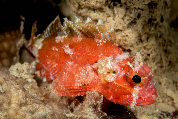 juvenile tasseled scorpionfish fish stock photo
