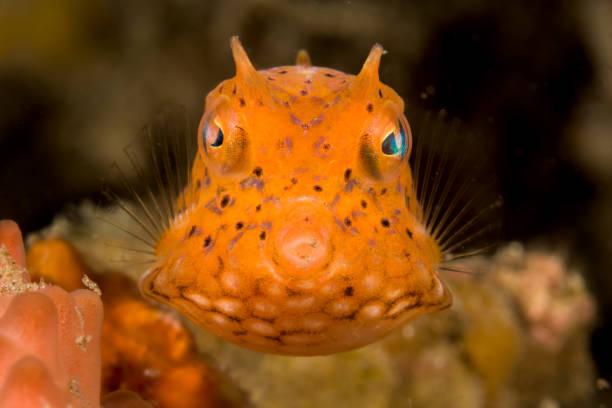 juvenile thornback cowfish fish stock photo