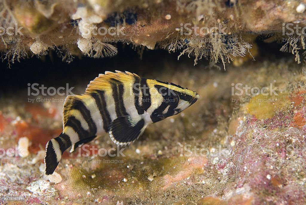 Juvenile Treefish stock photo