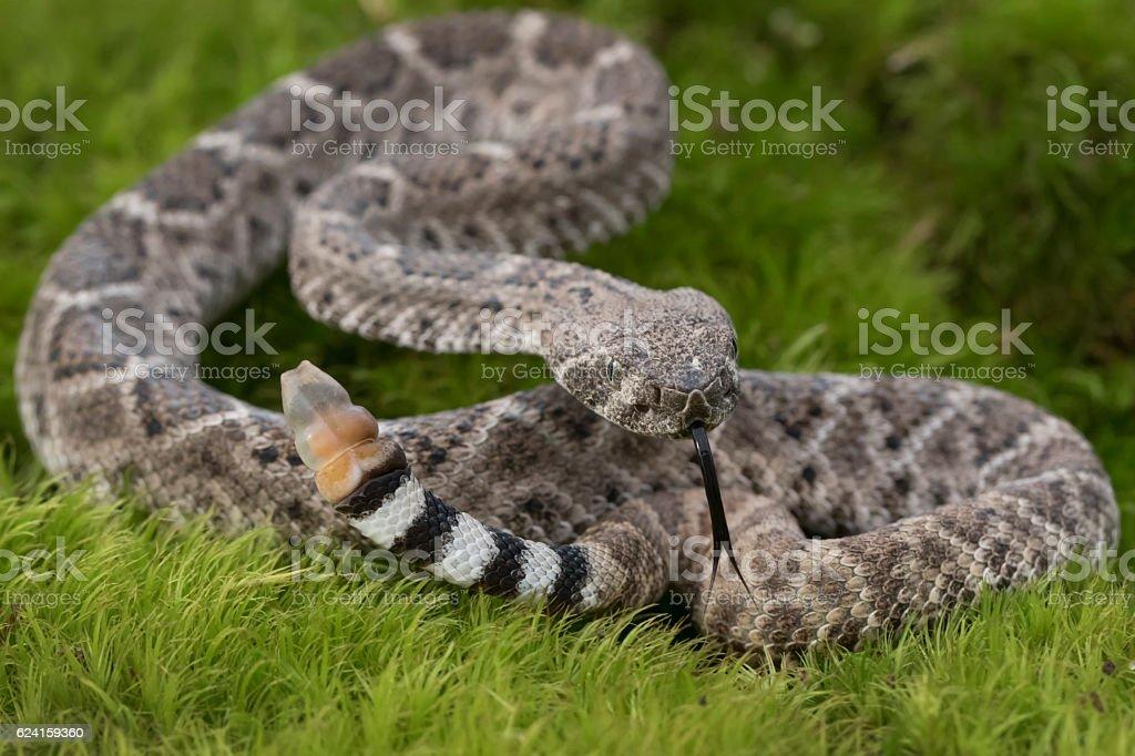 Juvenile Western Diamondback Rattlesnake with Forked Tongue stock photo