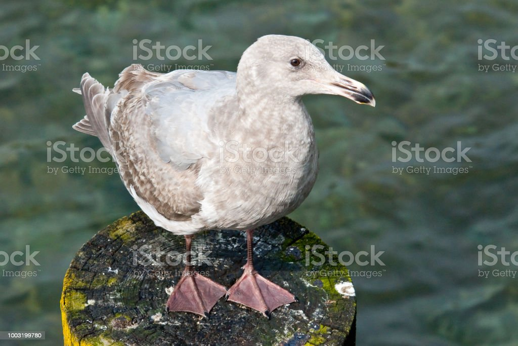 Juvenile Western Gull Perched on a Piling stock photo