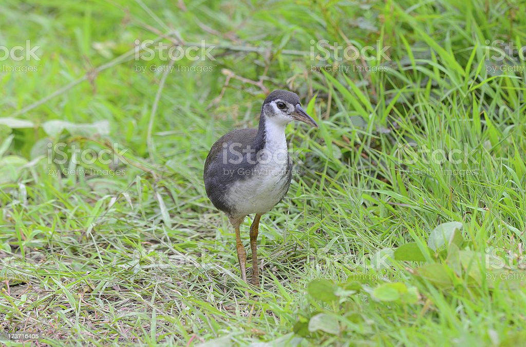 juvenile white-breasted waterhen royalty-free stock photo
