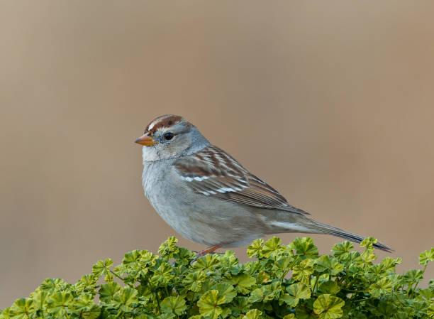 Juvenile White-Crowned Sparrow stock photo