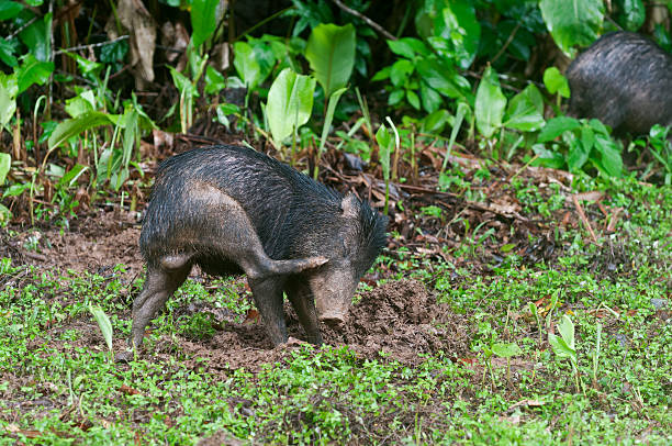juvenile white-lipped peccary - javelina stock pictures, royalty-free photos & images