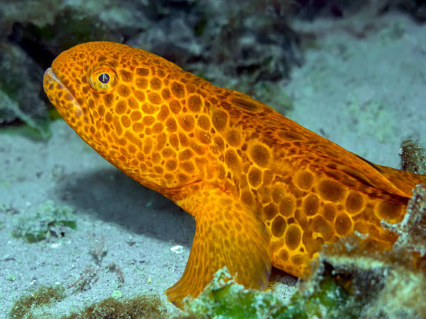 juvenile wolf eel (anarrhichthys ocellatus) - naturediver stock pictures, royalty-free photos & images