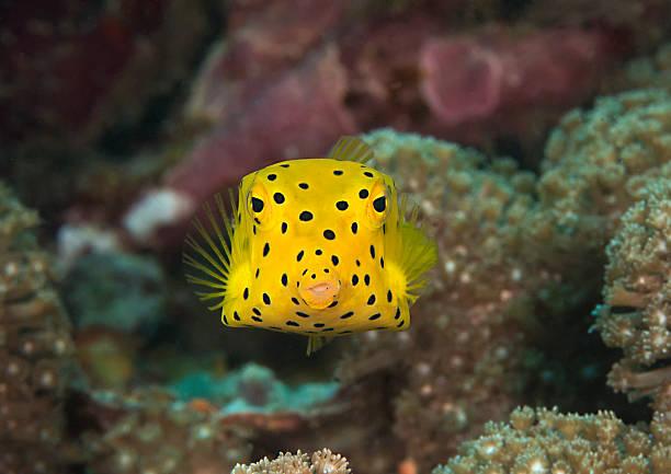 Juvenile yellow boxfish  Close-up of a yellow boxfish (Ostracion cubicus), baby boxfish manado stock pictures, royalty-free photos & images