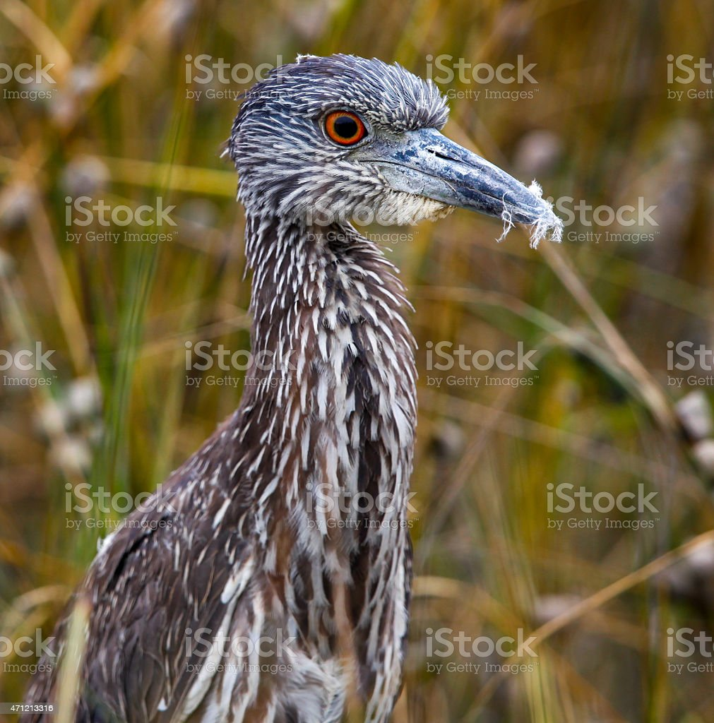 Juvenile Yellow Crowned Night Heron with Feathers in Beak stock photo