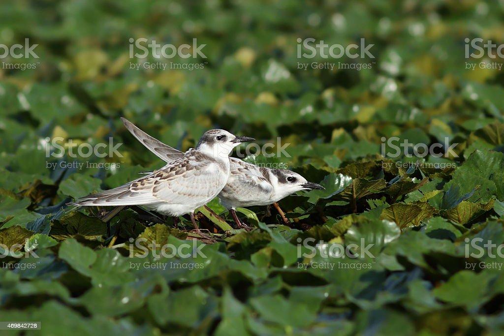 juveniles whiskered tern stock photo