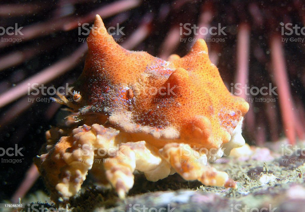 Juvenille Puget Sound King Crab stock photo