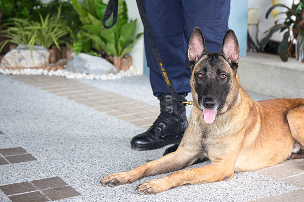 k 9 alsatian dog crouch beside training – Foto