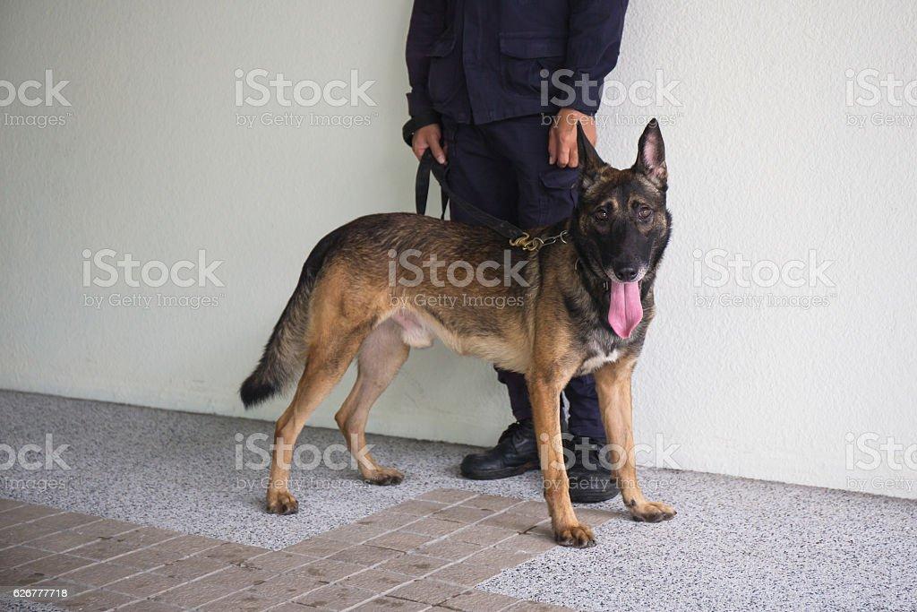 k 9 alsatian dog stand beside law enforcement trainer