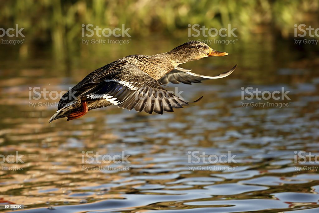 Kaczka krzyżówka royalty-free stock photo