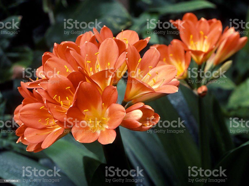 Kaffir Lilies stock photo