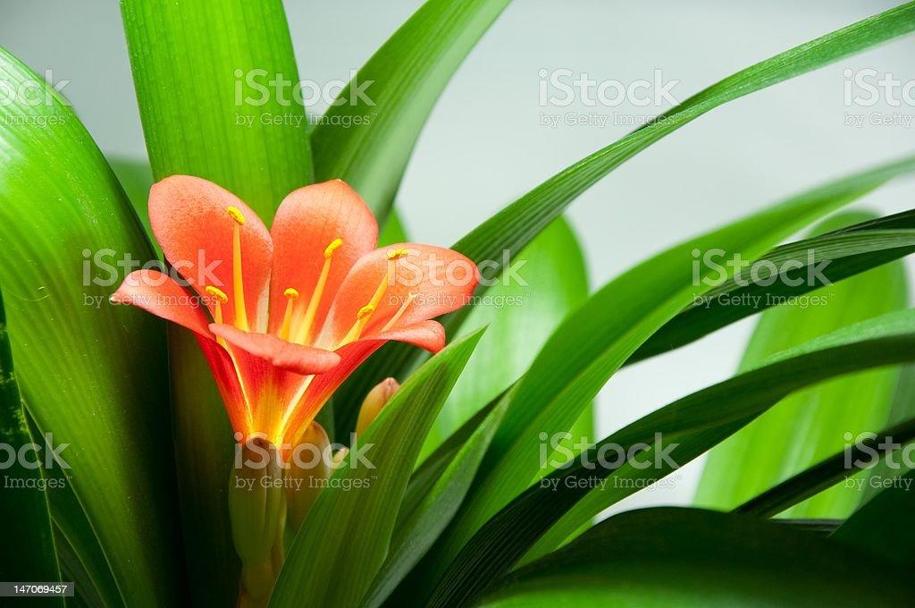 Kaffir Lily Clivia  Flower stock photo