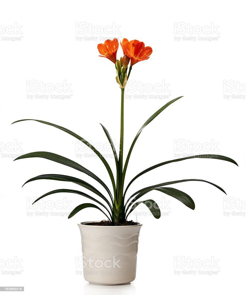 Kaffir Lily (Clivia miniata) stock photo