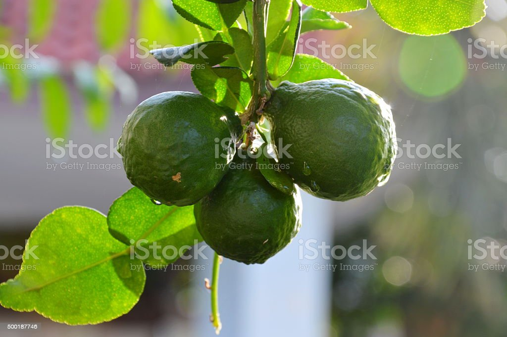 Kaffir lime in backyard garden stock photo