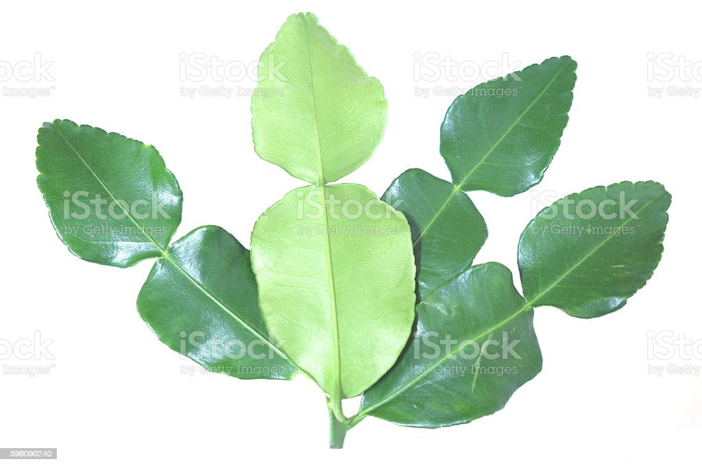 Kaffir lime leaves isolated on white background royalty-free stock photo