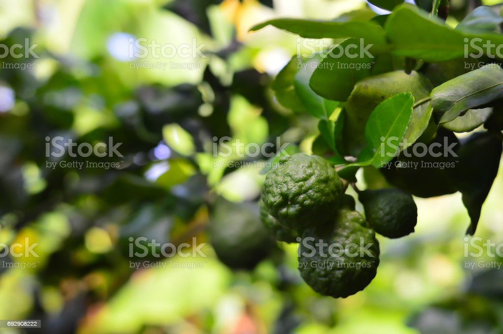 Kaffir lime -Makrut lime stock photo