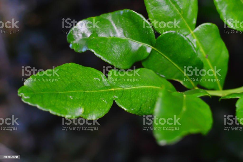 Kaffir lime - Makrut lime stock photo