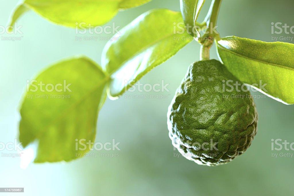 Kaffir Lime or Bergamot fruit on branch stock photo