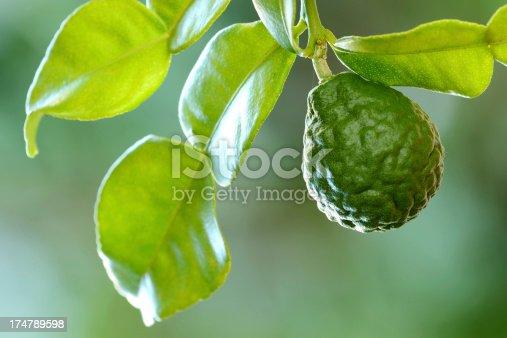 Kaffir Lime or Bergamot fruit on branch