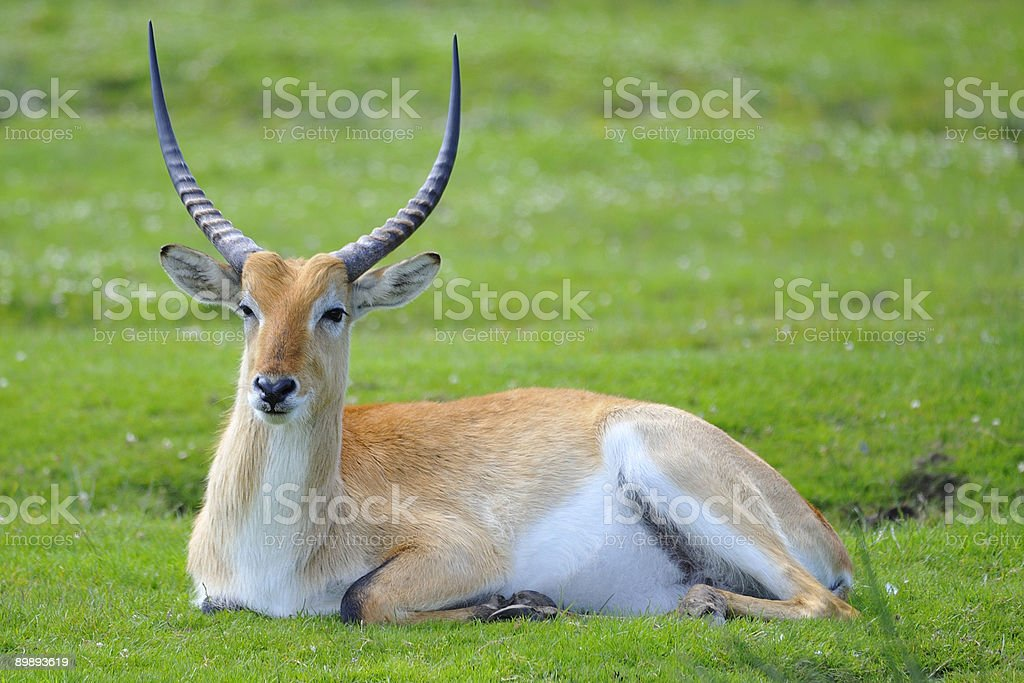 Kafue Flats lechwe (Antelope) royalty-free stock photo