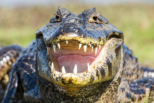 Kaiman dans le Pantanal, Brésil - Photo
