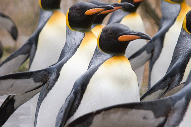 Kaiserpinguine Kaiserpinguine auf einem Winterspaziergang durch den Z emperor penguin stock pictures, royalty-free photos & images