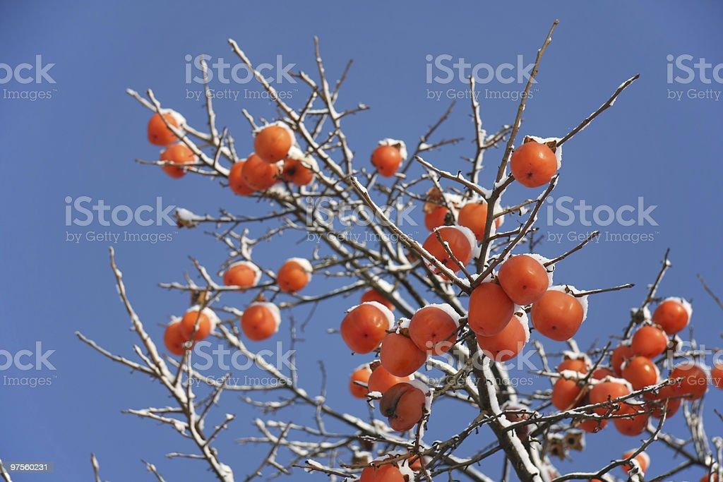 Kaki tree branch in winter royalty-free stock photo
