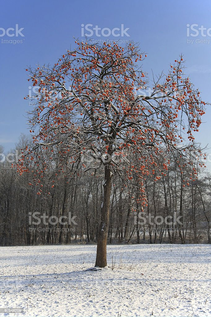 Kaki Arbre en hiver photo libre de droits