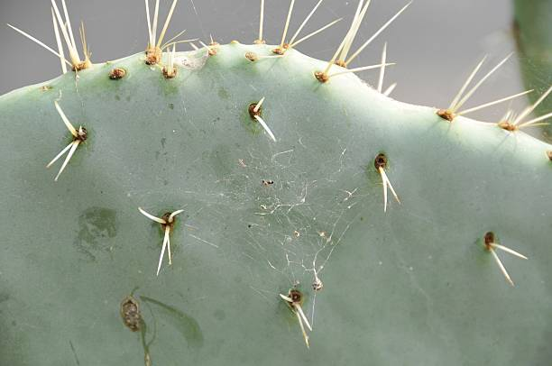 Cactus fruit mit Stacheln – Foto