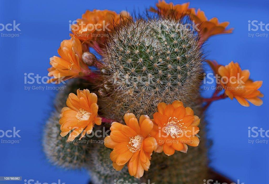kaktus royalty-free stock photo