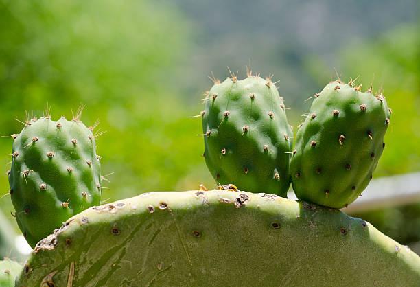 kaktusfrucht - opuntia robusta fotografías e imágenes de stock