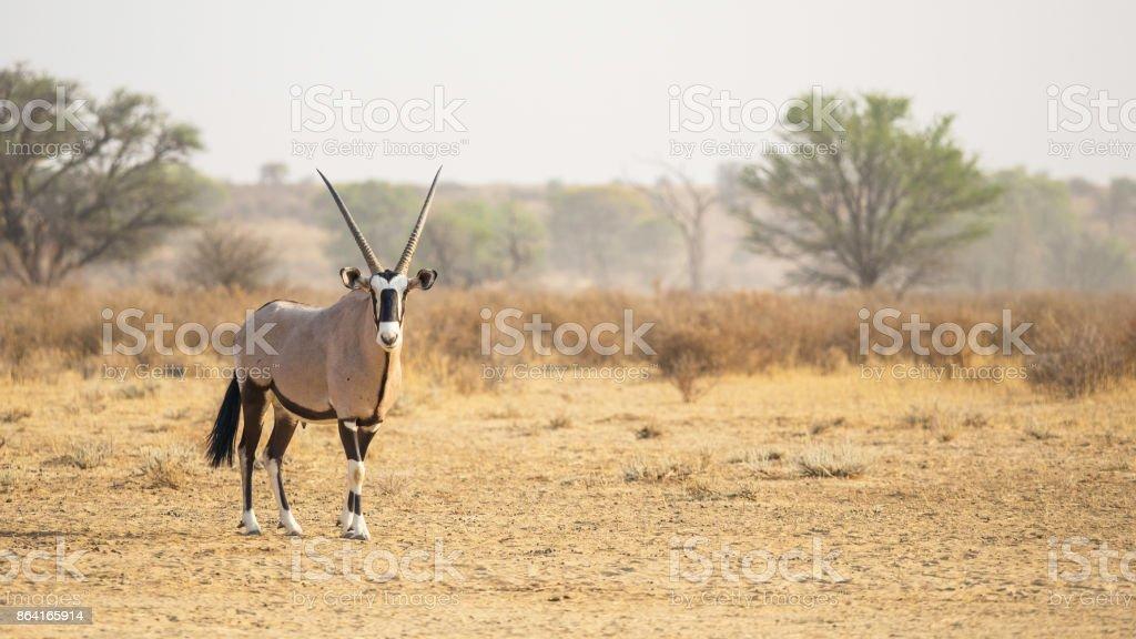 Kalahari Gemsbok royalty-free stock photo