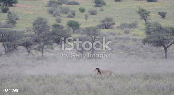Alpha male African lion (Panthera leo) padding along in the dust trail of a herd of blue wildebeest, Grootkolk, Kgalagadi transfrontier park, South Africa,