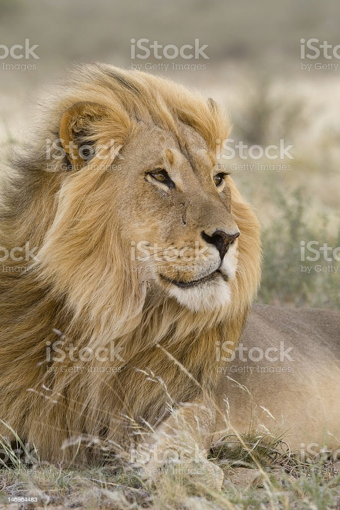 Kalahari lion stock photo