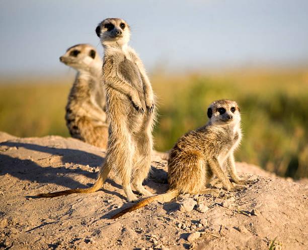 kalahari meerkats - meerkat stock photos and pictures