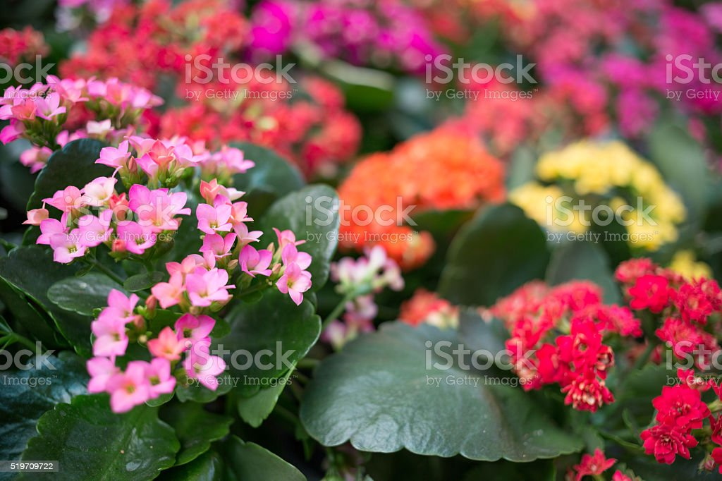 kalanchoe flowers in different colors stock photo
