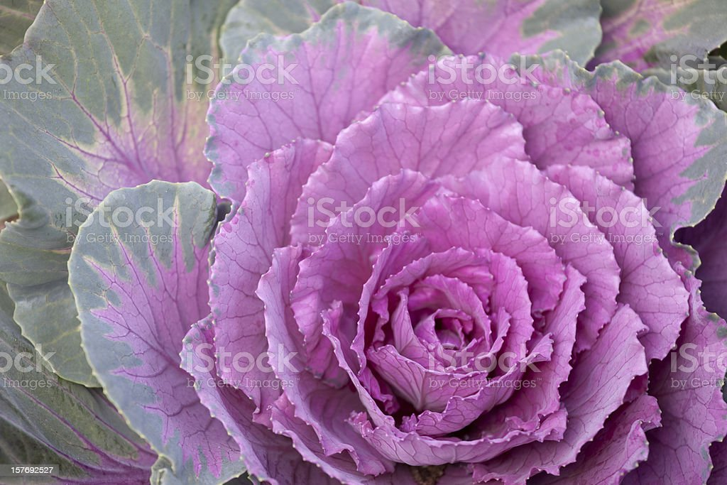 Kale, Cabbage, Garden, Purple, Green, Close-up, Flower, Vegetable, Food royalty-free stock photo