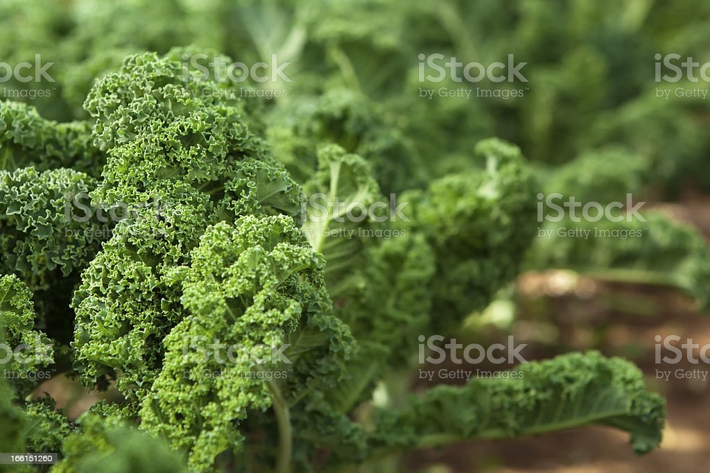 Kale in garden royalty-free stock photo