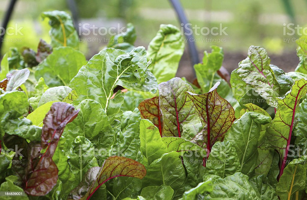 Kale in the Garden royalty-free stock photo
