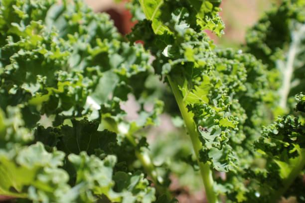 Kale Leaves stock photo