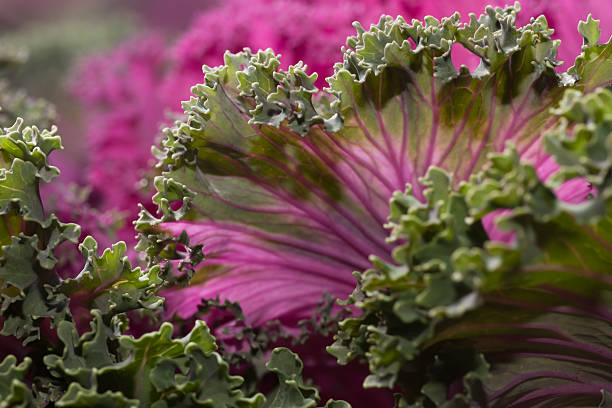 Kale Ornamental Cabbage stock photo