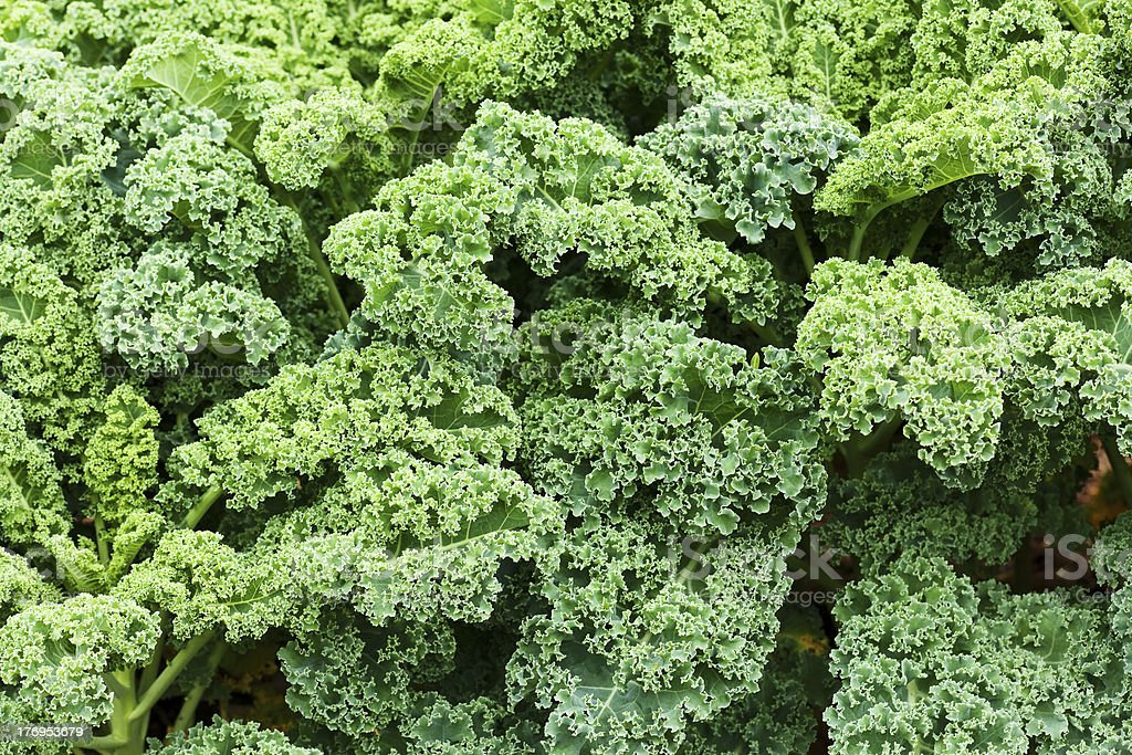 kale royalty-free stock photo