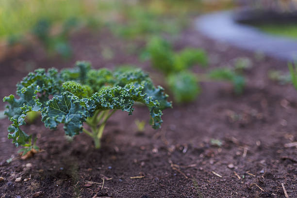 Kale plant in garden bed stock photo