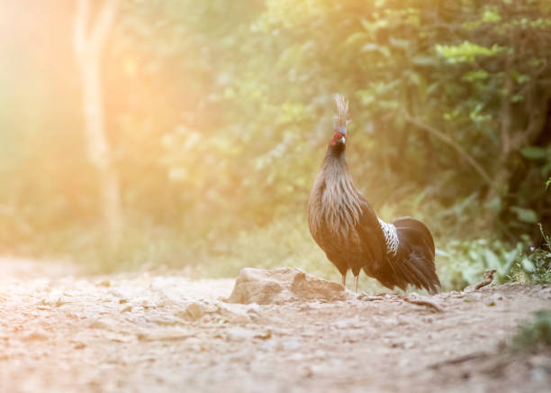 Kalij Pheasant in the Forest stock photo