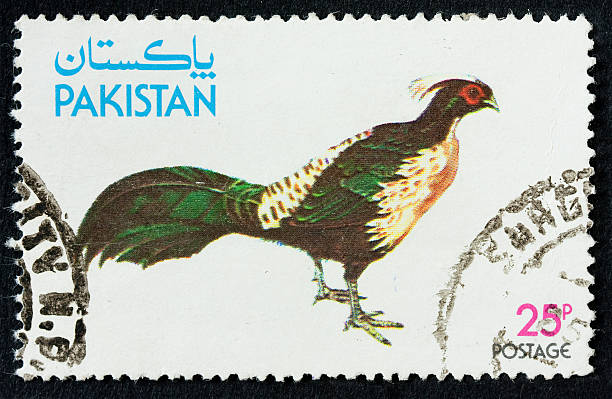 Kalij pheasant stock photo